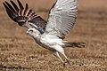 A Short Toed Snake Eagle (49495528368).jpg