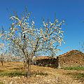A amendoeira em flôr (427148005).jpg