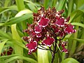 A and B Larsen orchids - Cambria Morning Joy Elegance 0041.jpg