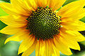 A full view of sunflower-Series of Macro Photography in Lahore..jpg