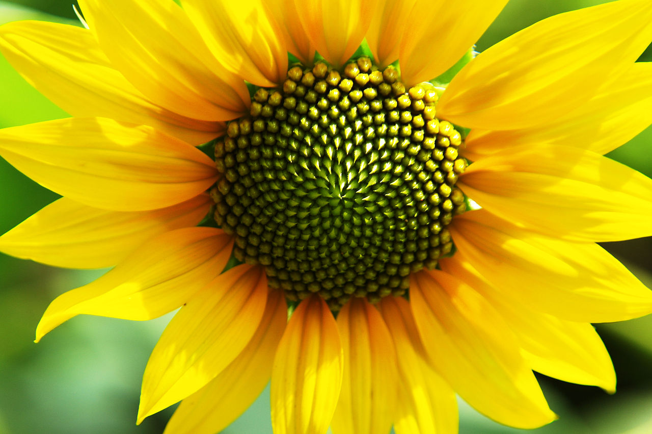 Beautiful macro wallpaper with sunflower Wallpaper Download x