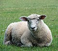 A lamb at rest - geograph.org.uk - 1355695.jpg