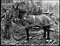 A logger and his horse, ca 1905 (MOHAI 5928).jpg