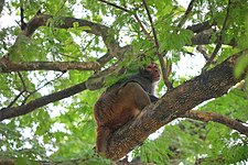 A monkey on the tree at Comilla Zoo & Botanical Garden 2018-01-13.jpg