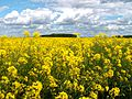 A rapeseed field in the Lincolnshire Vales, South Kesteven, England 6.jpg