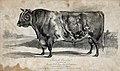 A short horned bull. Etching by H. Beckwith, ca 1839, after Wellcome V0021622.jpg