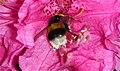 Abejorro polinizando un rododendro (I) (447752935).jpg