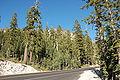Abies magnifica forest Lassen.jpg