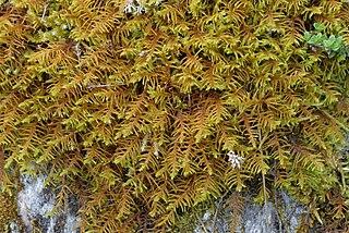 <i>Abietinella</i> (plant) Genus of mosses