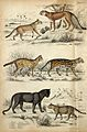 Above, a leopard and a red-eared lynx; middle, a serval and Wellcome V0020911ER.jpg