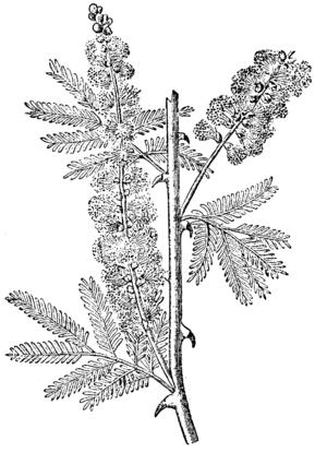Acacia, Nordisk familjebok.png