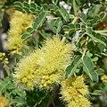 Acacia greggii 6.jpg