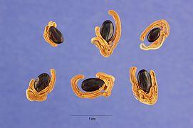 Acacia melanoxylon seeds.jpg