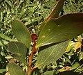 Acacia phlebophylla.jpg