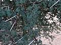 Acacia tortilis 02.jpg