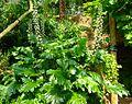 Acanthus mollis 'Oak Leaf' - Missouri Botanical Garden.jpg