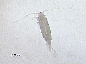 Acartia clausi Giesbrecht 1889 ; Acartiidae, C...
