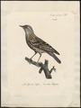 Accentor alpinus - 1825-1834 - Print - Iconographia Zoologica - Special Collections University of Amsterdam - UBA01 IZ16200388.tif