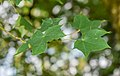 Acer cappadocicum in La Jaysinia (5).jpg