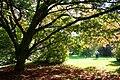 Acer cissifolium JPG1a.jpg