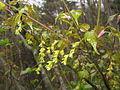 Acer crataegifolium 4.JPG