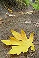 Acer macrophyllum 6.jpg