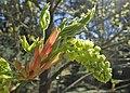 Acer macrophyllum kz01.jpg