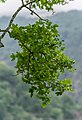 Acer monspessulanum in Tarn (5).jpg