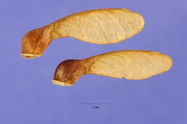 Acer nigrum seeds.jpg