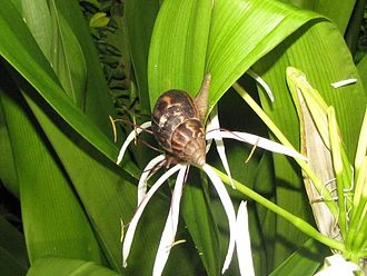 Achatina fulica - Feeding on Crinum leaves