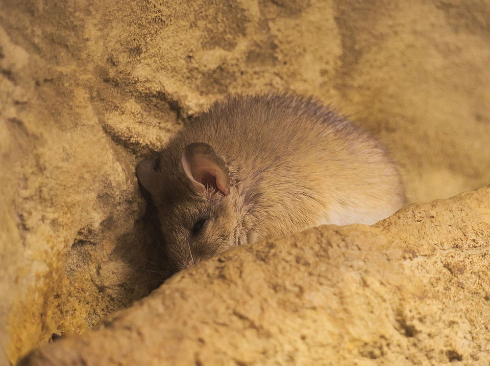The average adult weight of a Crete spiny mouse is 62 grams (0.14 lbs)