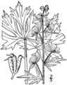 Aconitum noveboracense BB-1913.png
