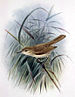 Laysan Millerbird - Photo John Gerrard Keulemans (1842-1912)., no known copyright restrictions (public domain)