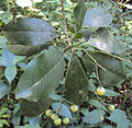 Acronychia pedunculata 01.JPG