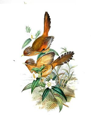 Rusty-fronted barwing - Illustration by John Gould.