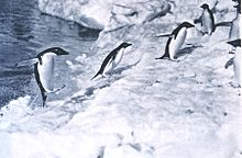 Pinguinthread 220px-Adeliepinguine-Landgang