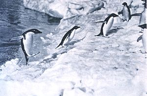 George Murray Levick - Penguins jumping onto the ice foot by Levick