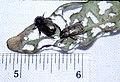 Adoretus sinicus.jpg