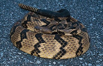 Timber rattlesnake - Adult Crotalus horridus, Florida