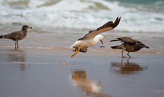 Pacific gull - Adult and juveniles, Cape Woolamai, Victoria