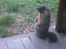 Archivo: Adult marmot whistling.ogv