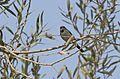 Aegithalos caudatus - Long-tailed Tit, Adana 2016-10-29 01-3.jpg