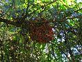 Aegithalos caudatus nest.jpg