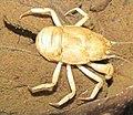 Aegla cavernicola (10.3897-subtbiol.19.8207) Figure 2 (cropped).jpg