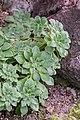 Aeonium goochiae in Botanischer Garten Muenster.jpg