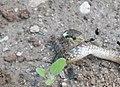 Aesculapian snake - Elaphe longissima - Смок мишкар.jpg