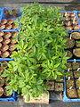 Aesculus californica seedlings (13079609315).jpg