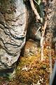 African Bullfrog (Pyxicephalus adspersus) (2864605722).jpg