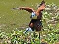 African Jacanas (Actophilornis africanus) mating (11465143033).jpg