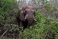 African elephant (Loxodonta africana) in bush.jpg